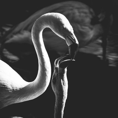 A mother flamingo feeds her young.