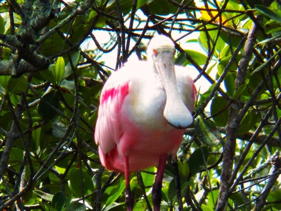Pink Spoonbill