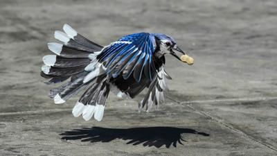 Bluejay II