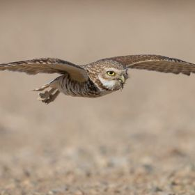 Momma burrowing owl bringing food to her 8 babies