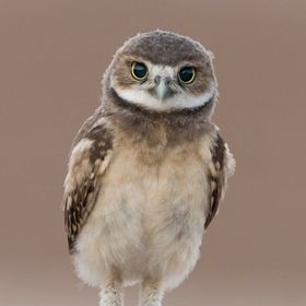 Young burrowing owlet portrait