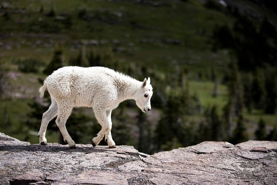 A young Mountain Goat (aka Kid) walks along a cliff near the Hidden Lake overlook in Glacier Nati...