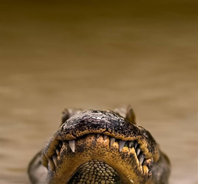 Swamp Alligator by kimaikawa - Reptiles Photo Contest