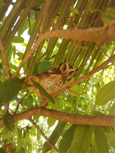 Coruja (Owl)