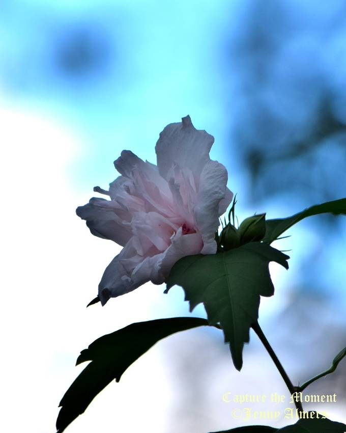 Althea Bloom Against Blue Sky
