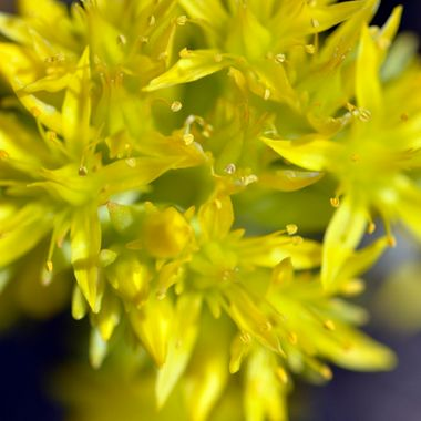Stonecrop is a small flower that is found in dry, rocky, or sandy areas, and may be found near cactus