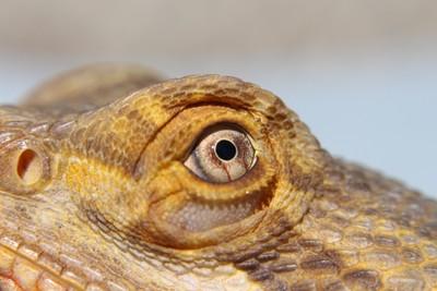 Breaded Dragon Eye