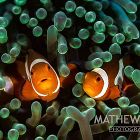 Two Clownfish not overly happy with my intrusion in their anemone home in Puerto Galera, Philippines.