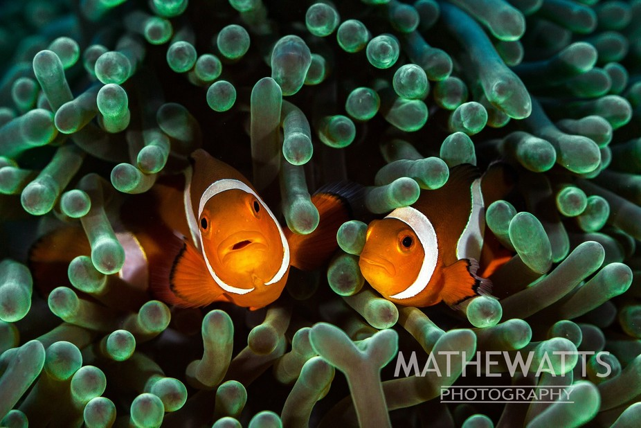 Two Clownfish not overly happy with my intrusion in their anemone home in Puerto Galera, Philippi...