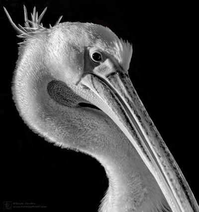 Pelican Preening 2