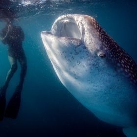Whale shark and diver in La Paz Bay. Baja California Sur, Mexico.