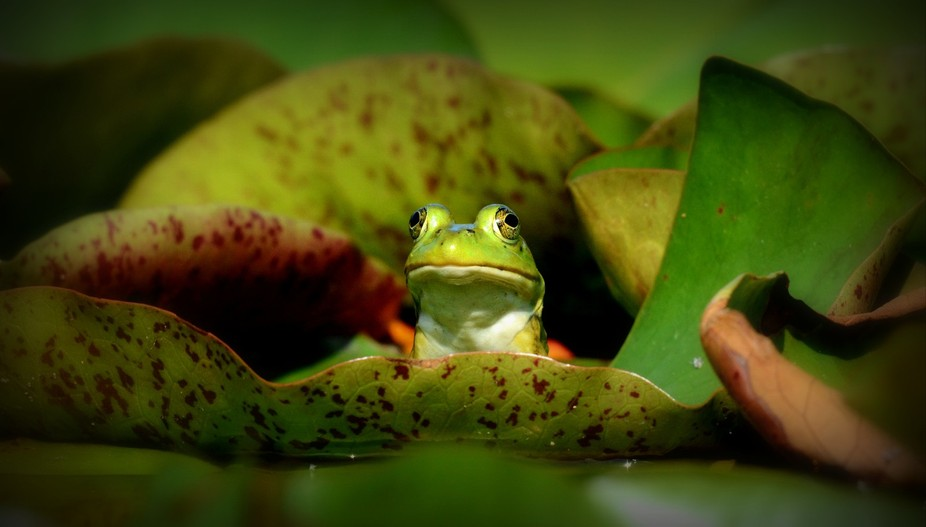 a frog resting and taking in the sun and head on a water lily leaf in the Chicago suburbs