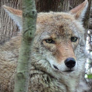 MN Zoo Coyote