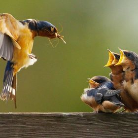 A Barn Swallow feeding its fledglings at the Arcata Marsh and Wildlife Sanctuary.
