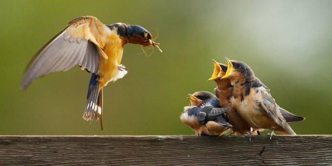 Feeding the Fledglings by alanpeterson - Animals And Rule Of Thirds Photo Contest