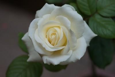 White Rose........