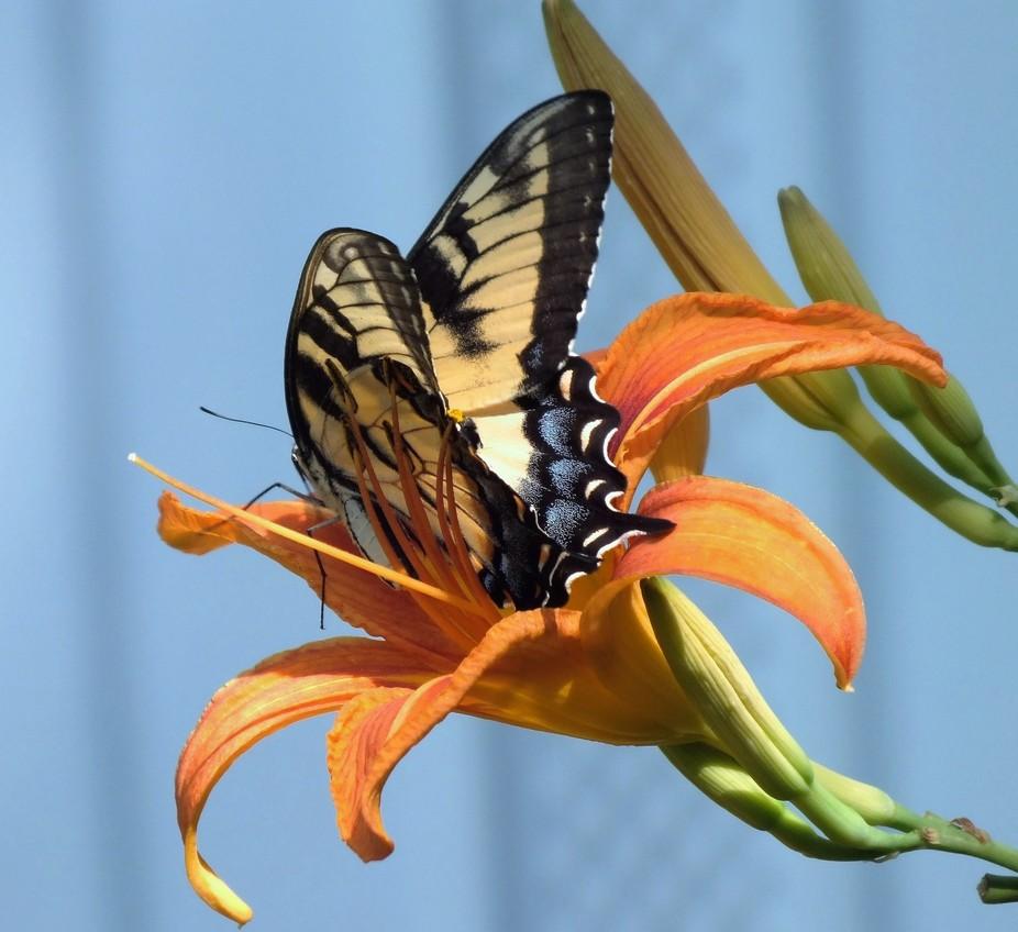 Butterfly(Swallowtail)