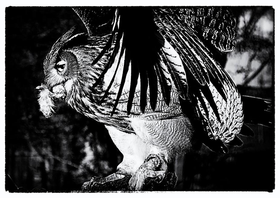 eagle owl garden-