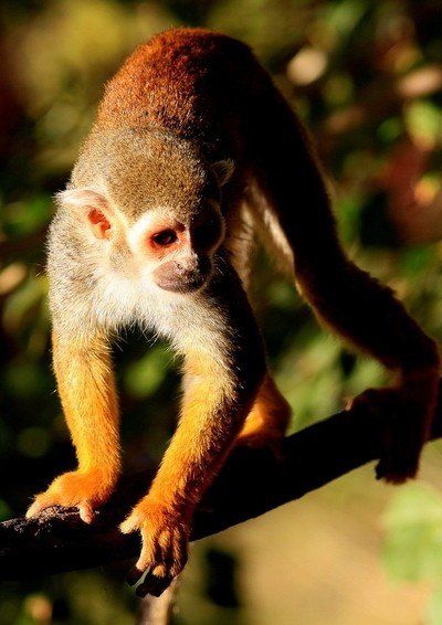 Squirrel Monkey - out of the shade