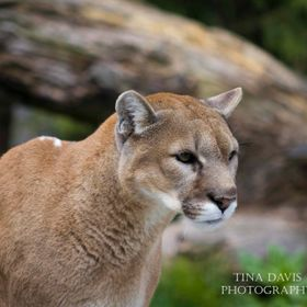 This cougar was at the zoo watching us watching him.