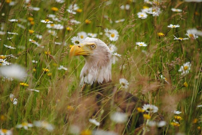 Eagle in daisies by MfWestcoast - Just Eagles Photo Contest