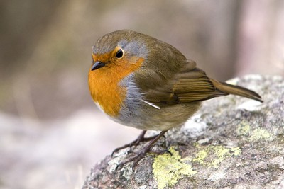 Robin, Helm Crag, Cumbria, England