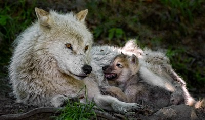 Mother Wolf and Pup