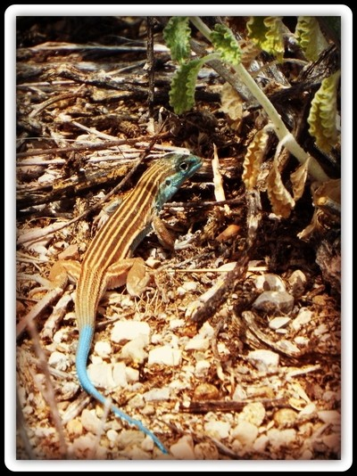 Whiptail Lizard New Mexico (Female)