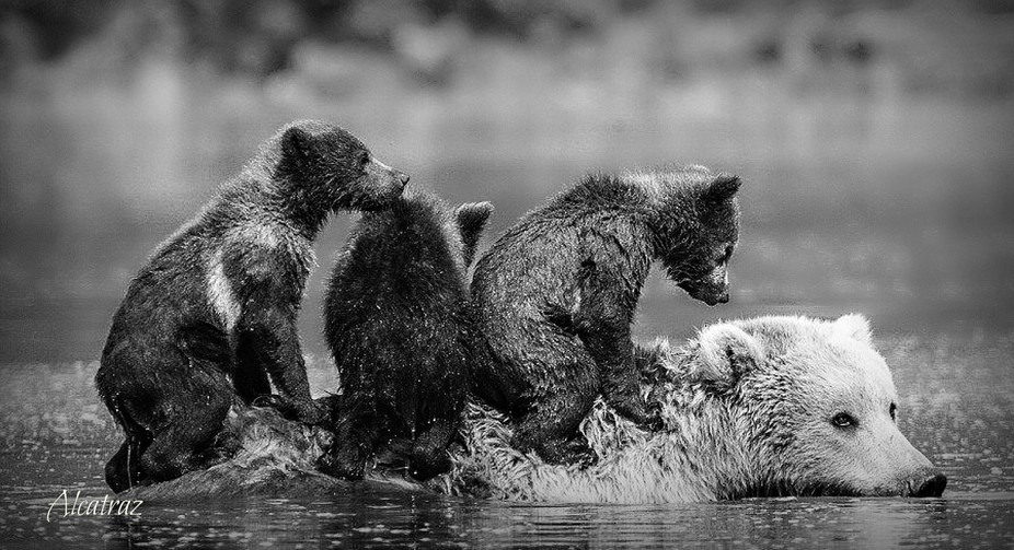WHILE ON A FLY-IN FISHING TRIP IN ALASKA. BEARS ENJOY FISHING AS WELL.