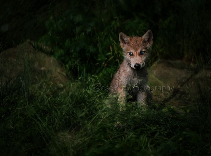 Tiny Wolf by Basciano_Photography - Wolves Photo Contest