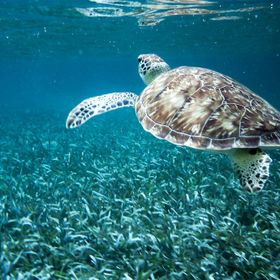 A turtle swimming inside the reef at San Pedro, Belize