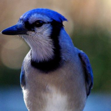 blue Jay Lookout