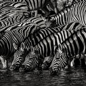 A herd of Zebras drinking at the Okaukuejo waterhole