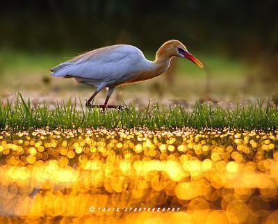 The golden glitter