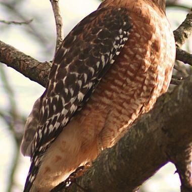 Red Bellied hawk
