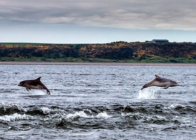 Moray Firth Dolphins - Synchronized Youngsters