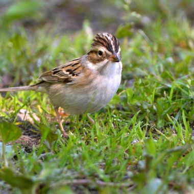 _DSC6061 clay-colored sparrow