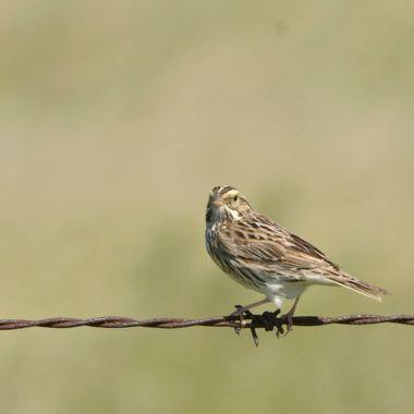 _DSC6184 bairds sparrow