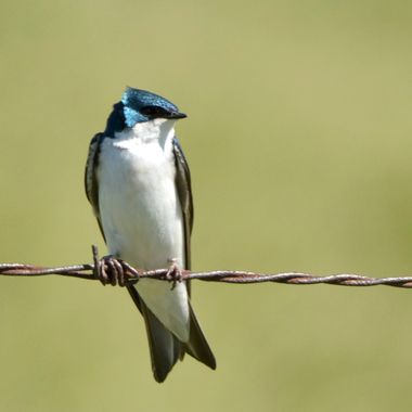 _DSC6175 tree swallow