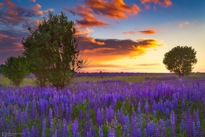 Evening at Lupines field