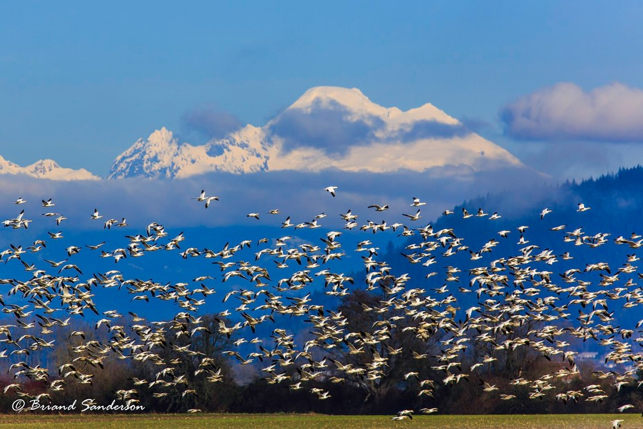 A flock of migratory snow geese takes to the sky in the Skagit Valley. Mt. Baker can be seen in t...