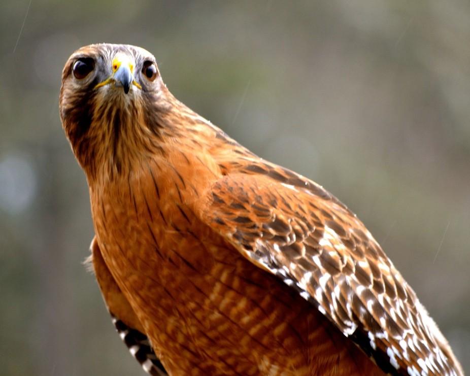 Red Shoulder Hawk WOW