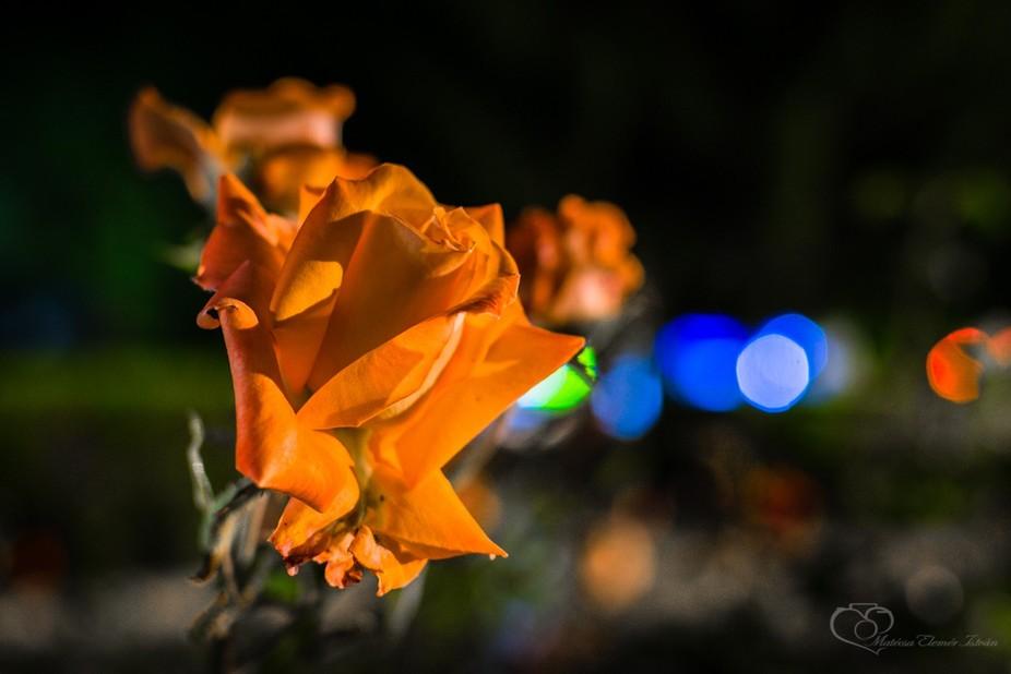 "Matecsa Elemer Istvan_viragok ejjel f-6746- ""rose at night"""