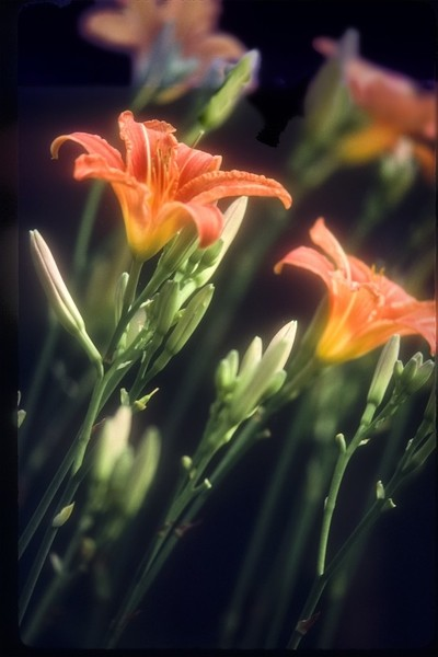 Night For Day – Lilies…