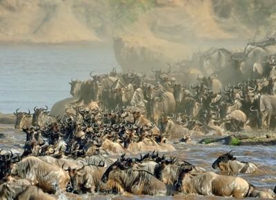 The big crossing....Masai Mara 2013_0001-107050