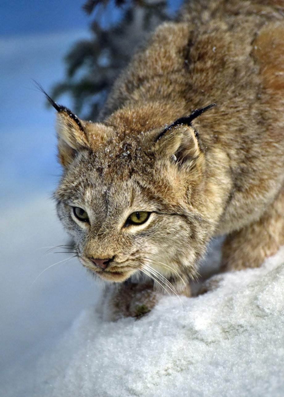 downsized_5625 by laurelgolemba - Winter Wildlife Photo Contest