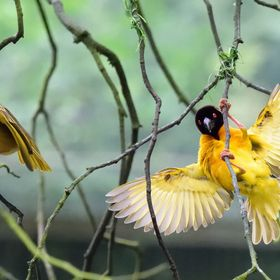 Pic 2 -- Southern masked weaver birds Female (L) and Male (R)  Southern masked weaver male have several female partners, and build a succession o...