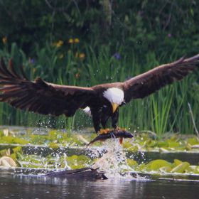 I was fishing off of my dock and this guy just had to show me up!!!!  This is one of a pair with hungry eaglets just down the river from me!!!!