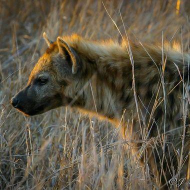 Hyena in the Morning Sun