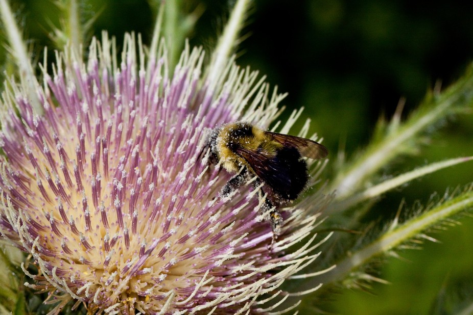 Thistle and Bee - Waterton National Park
